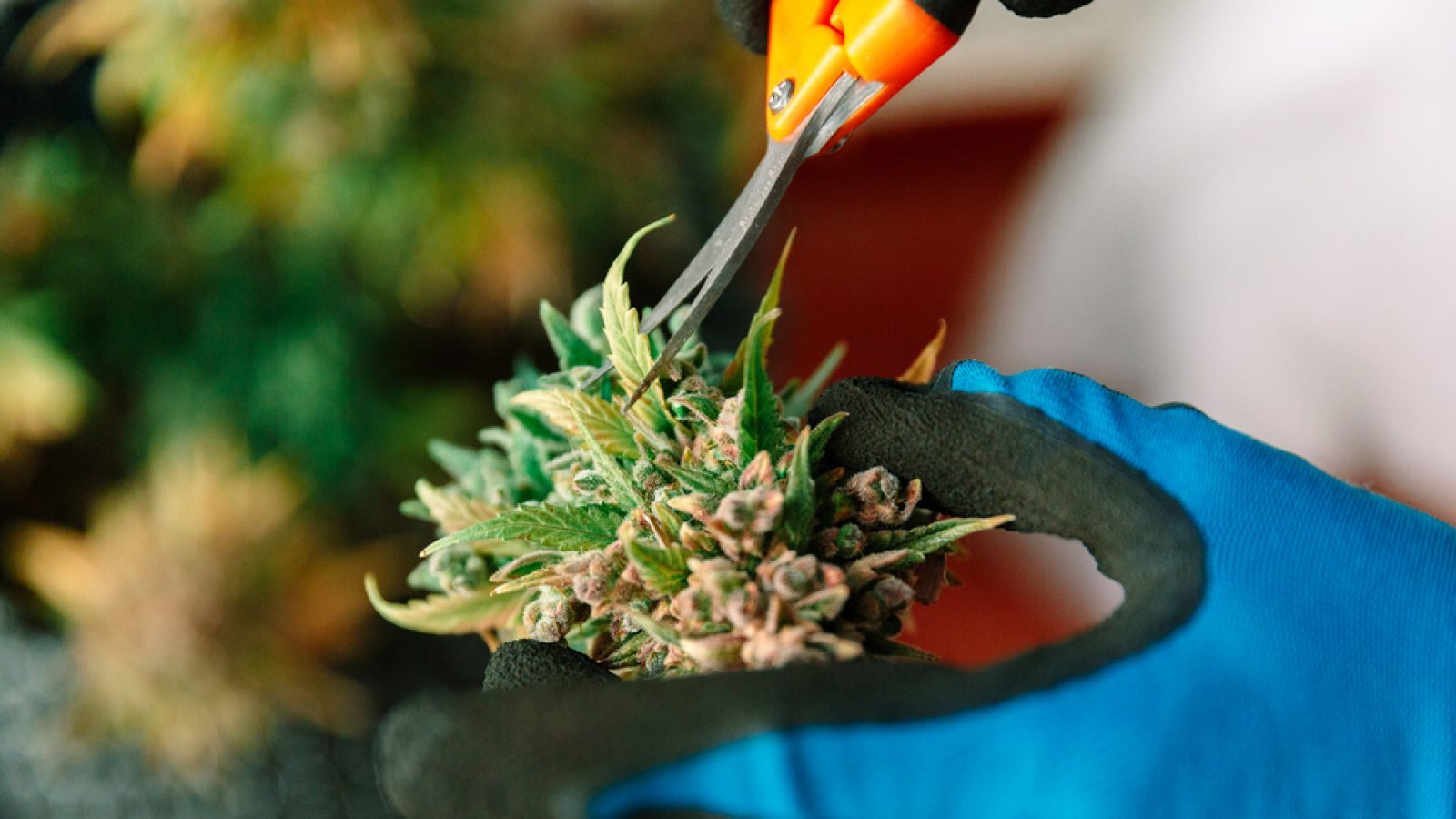 CBD & Cannabis Education | How To Work In Marijuana Niche